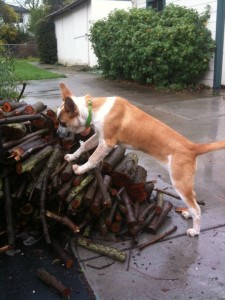 dog taking firewood